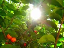 Acerolafrucht auf dem Baum mit Sonne funkt Stockfotografie