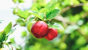 Acerolafrucht auf dem Baumast Lizenzfreies Stockfoto