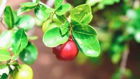 Acerolafrucht auf dem Baumast Stockbilder