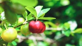 Acerolafrucht auf dem Baumast Stockfoto