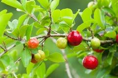 Acerolafrucht, die von den Niederlassungen hängt Stockfotos