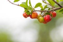 Acerolafrucht, die von den Niederlassungen hängt Lizenzfreie Stockfotos