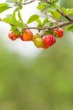 Acerolafrucht, die von den Niederlassungen hängt Stockbilder
