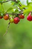 Acerolafrucht, die von den Niederlassungen hängt Stockfotografie