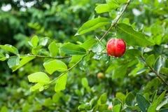 Acerolainstallatie en fruit Stock Afbeeldingen