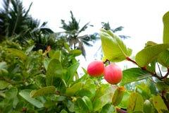 Acerolakers - klein de kersenfruit van Acerola op de boom De Acerolakers is hoge vitamine C en anti-oxyderende vruchten Selectiev stock foto's