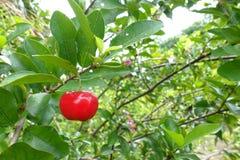 Acerolakers - klein de kersenfruit van Acerola op de boom De Acerolakers is hoge vitamine C en anti-oxyderende vruchten Selectiev stock fotografie