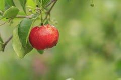Acerolakirsche auf Baum Stockbild