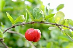 Acerolakirschfrucht Lizenzfreies Stockbild