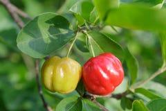 Acerolakirschfrucht Lizenzfreies Stockfoto