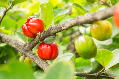 Acerolakirschfrucht Lizenzfreie Stockfotos