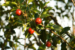 Acerola fruits in tree Royalty Free Stock Photography