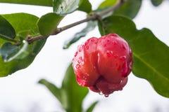 Acerolaväxt och frukt Fotografering för Bildbyråer