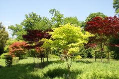 Acers. deciduous trees. Japanese garden in Dorset, England, Europe Stock Images