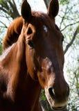 acetosa del cavallo Fotografia Stock