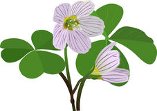 Acetosella d'Oxalis illustration de vecteur