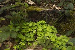 Acetosella oder Klee Oxalis, die in einem Waldland blühen Lizenzfreies Stockbild