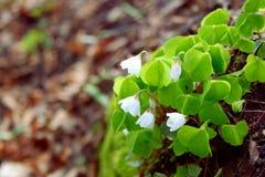 Acetosella Oxalis - белый деревянный цветок Стоковые Изображения RF
