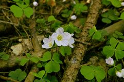 Acetosella oxalis Royalty Free Stock Images
