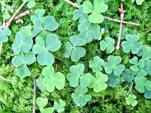 Acetosella verde Immagini Stock Libere da Diritti