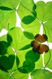 Acetoselle di giorno di ST.Patricks Fotografia Stock