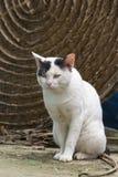 Achado de vista branco dos gatos dispersos algo em Tailândia Fotos de Stock