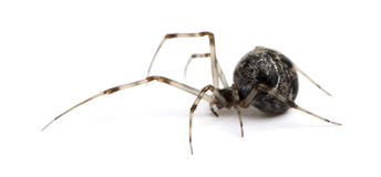 achaearanea公用房子蜘蛛tepidariorum 库存照片