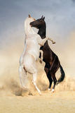 Achal-teke horse fight. Two achal-teke horses fight on desert stock images