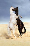 Achal-teke horse fight Stock Photos