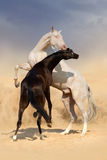 Achal-teke horse fight. Two achal-teke horses play on desert dust stock photos
