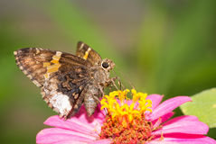 Achalarus lyciades, Hoary Edge butterfly Royalty Free Stock Image