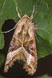 Achateule Phlogophora-meticulosa Lizenzfreie Stockbilder