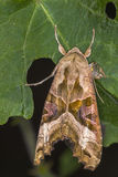 Achateule Phlogophora-meticulosa Lizenzfreie Stockfotos
