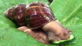 Achatina蜗牛吃黄瓜 股票录像