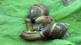 Achatina蜗牛吃gammarus 影视素材