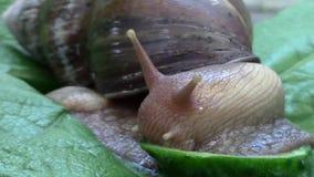 Achatina蜗牛咬黄瓜特写镜头 影视素材