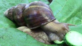 Achatina蜗牛用餐一个黄瓜 股票录像