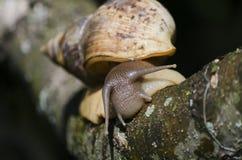 Achatina蜗牛 免版税库存照片