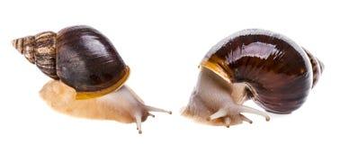 Achatina蜗牛 库存照片