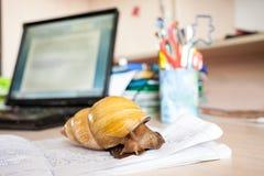 achatina非洲巨型蜗牛 图库摄影