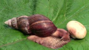 Achatina骨顶属蜗牛准备吃 股票录像