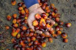 Achatina fulica Fotografie Stock Libere da Diritti