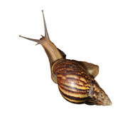 Achatina fulica (Tropical land snail) isolated on white Royalty Free Stock Photos