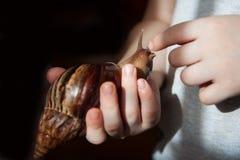 Achatina-Fulicaschnecke auf der Hand Stockfotografie