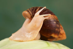 Achatina Royalty Free Stock Photography