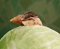 Achatina Royalty Free Stock Photos