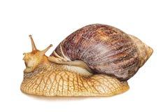 Achatina-Schnecke lokalisiert auf Weiß Lizenzfreies Stockfoto