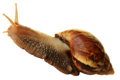 Achatina snail. Royalty Free Stock Images