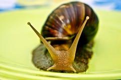 Achatina snail. Stock Image
