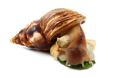 Achatina snail Stock Photo